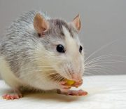 Reasons why you should hire a professional service for rodent control